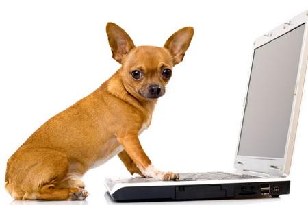 Собаки продаж: чихуахуа