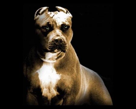 Собаки продаж: питбуль