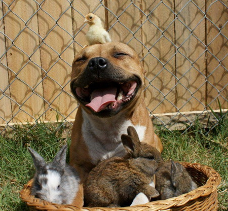 Собаки продаж: питбуль, цыпленок и кролики